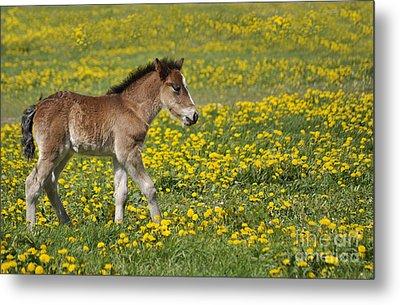 Foal In Field Metal Print by Conny Sjostrom