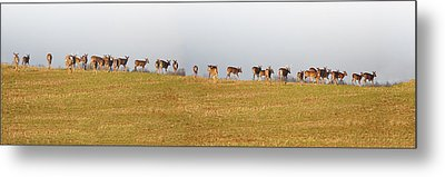 Follow The Herd Metal Print by Bill Cannon