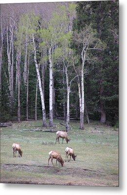 Four Elk   Four Aspen Metal Print