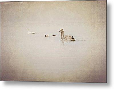 Four Swan Swimming Metal Print