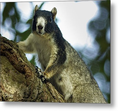 Fox Squirrel Metal Print by Phill Doherty