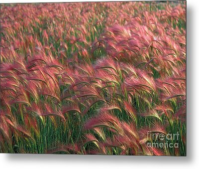 Metal Print featuring the photograph Foxtail Barley by Doug Herr