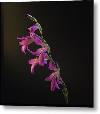 Metal Print featuring the photograph Freesia In The Spotlight by Susan Rovira
