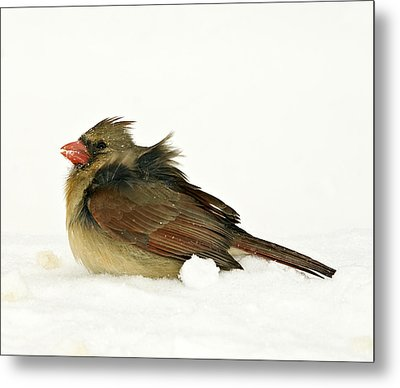 Freezing Cardinal Metal Print by Trudy Wilkerson