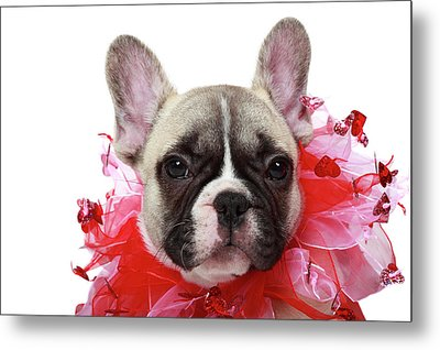 French Bulldog Puppy Metal Print by Mlorenzphotography
