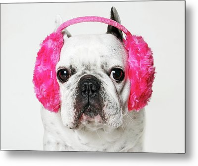 French Bulldog With Ear Roses On White Background Metal Print by Retales Botijero