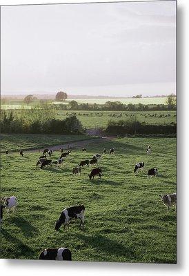 Friesian Bullocks, Ireland Herd Of Metal Print by The Irish Image Collection