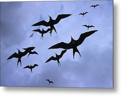 Frigate Birds In Flight. Lighthouse Metal Print by Ron Watts