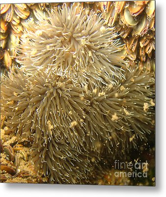 Frilled Sea Anemone Metal Print by Paul Ward