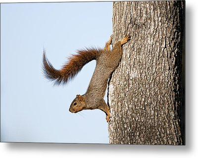 Frisky Little Squirrel With A Twirly Tail Metal Print by Bonnie Barry