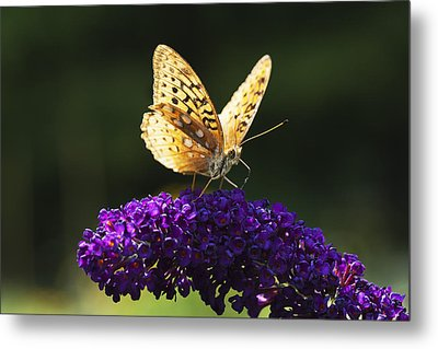 Fritillary Butterfly On Butterfly Bush, Near Madoc, Ontario, Canada Metal Print by Janet Foster