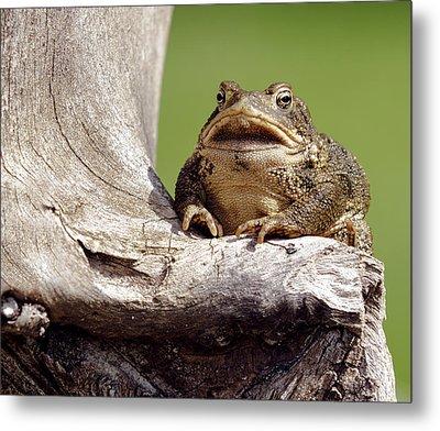Frog Metal Print by David Lester