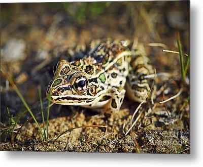 Frog Metal Print by Elena Elisseeva