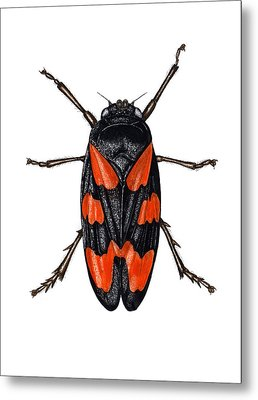 Froghopper Metal Print by Dr Keith Wheeler