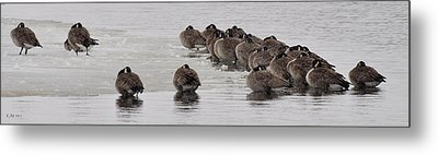 Metal Print featuring the photograph Frozen Flock by Kevin Munro