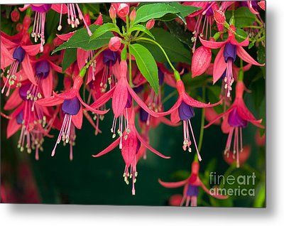 Fuchsia Windchime Flowers Metal Print by Alan and Linda Detrick and Photo Researchers