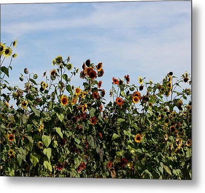 Metal Print featuring the photograph Gaillardia On Parade by Penny Hunt