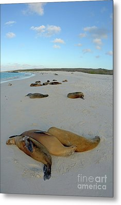 Galapagos Sea Lions Sleeping On Beach Metal Print by Sami Sarkis