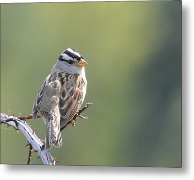 Metal Print featuring the photograph Gambel's White Crowned Sparrow by Ronda Broatch
