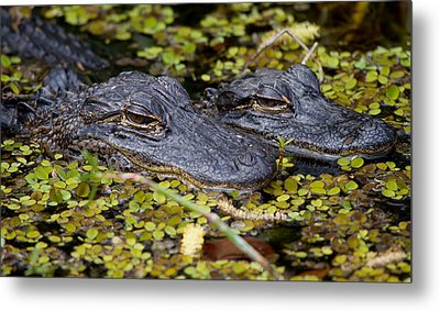 Gator Babies Metal Print by Andres Leon