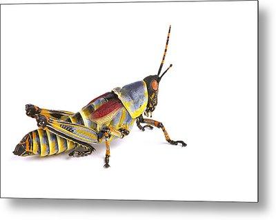 Gaudy Grasshopper Silaka Nature Reserve Metal Print
