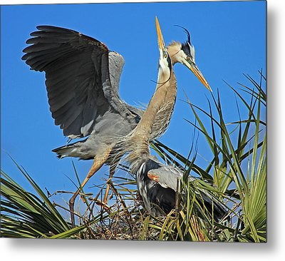 Metal Print featuring the photograph Great Blue Heron Courtship Display by Larry Nieland