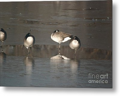 Metal Print featuring the photograph Geese On One Leg by Mark McReynolds