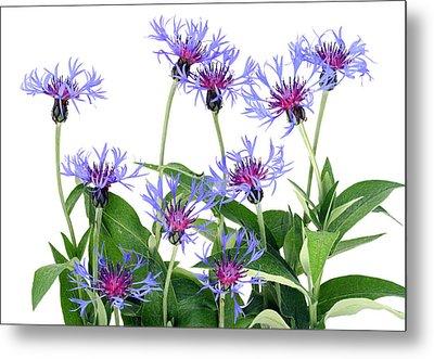 Metal Print featuring the photograph Gentle Blue Cornflowers by Aleksandr Volkov