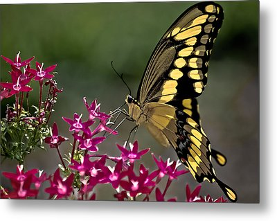 Gentle Giant Metal Print by DigiArt Diaries by Vicky B Fuller