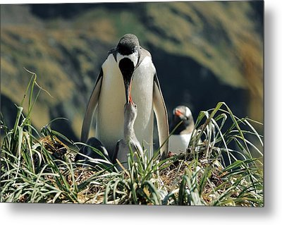 Gentoo Penguin Feeding Chick Metal Print