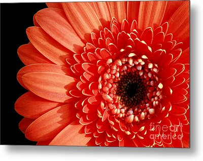 Gerber Perfection Metal Print by Inspired Nature Photography Fine Art Photography