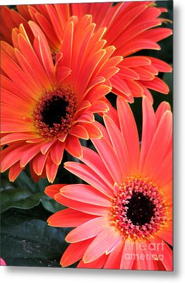 Gerbera Bliss Metal Print by Rory Sagner