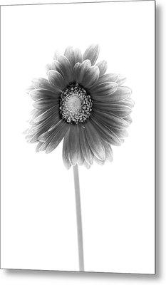 Gerbera In Black And White Metal Print by Sebastian Musial