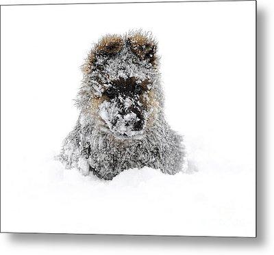 German Shepherd In The Snow Metal Print by Gualtiero Boffi