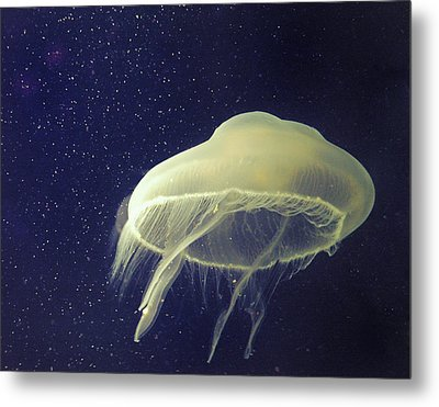 Giant Jelly Fish With Eggs That Look Like Stars Metal Print by Pete Foley
