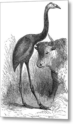 Giant Moa And Prehistoric Cow, Artwork Metal Print by
