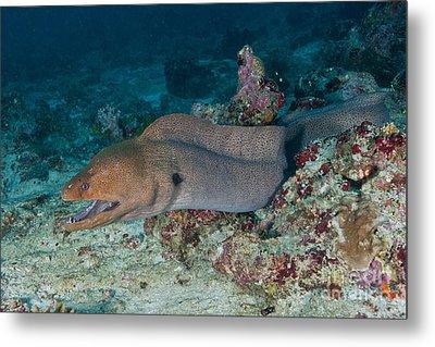Giant Moray Eel Swimming Metal Print by Mathieu Meur