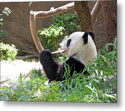 Giant Panda In San Diego Zoo 77 Metal Print by Ausra Huntington nee Paulauskaite
