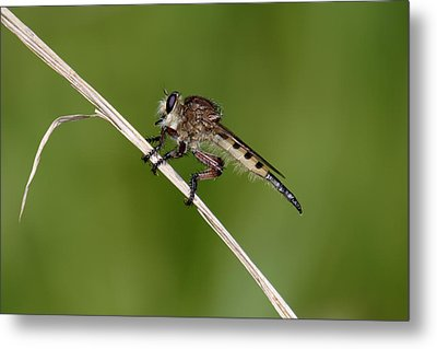 Metal Print featuring the photograph Giant Robber Fly - Promachus Hinei by Daniel Reed