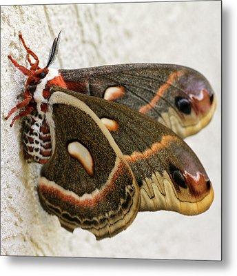 Giant Silkworm Moth 063 Metal Print
