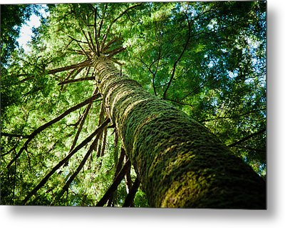 Giant Spruce Tree Canopy Metal Print by Christopher Kimmel