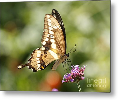 Giant Swallowtail Butterfly Metal Print by Robert E Alter Reflections of Infinity