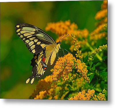 Giant Swallowtail On Goldenrod Metal Print by Tony Beck