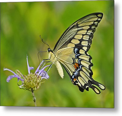 Giant Swallowtail Metal Print by Rodney Campbell