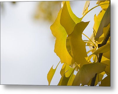 Metal Print featuring the photograph Ginko 1 by Lisa Missenda