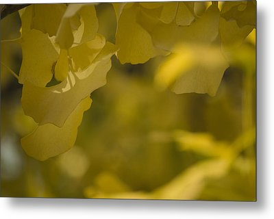 Metal Print featuring the photograph Ginko 3 by Lisa Missenda