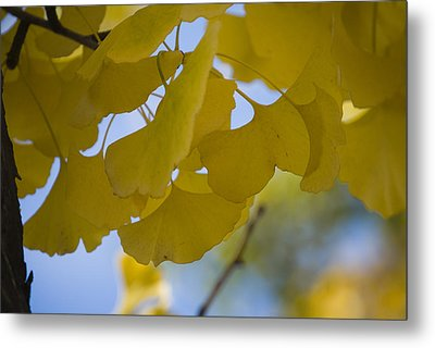 Metal Print featuring the photograph Ginko 5 by Lisa Missenda