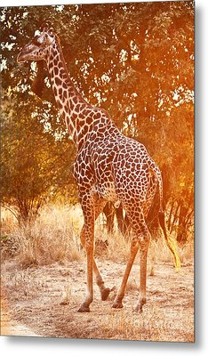 Giraffe At Sunset Metal Print