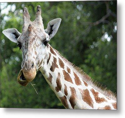 Giraffe Chewing Metal Print by Billie-Jo Miller