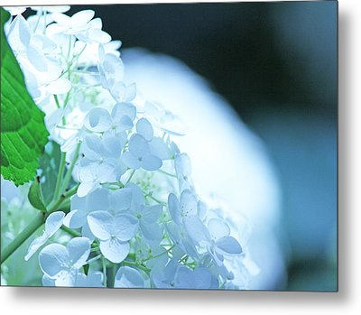 Glowing White Hydrangea Metal Print by Becky Lodes